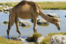 Why Camel Milk is Great For You